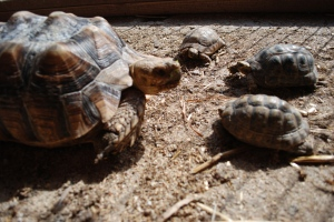 """Tortoise Family"" by Sam Lavy of Flickr Creative Commons"