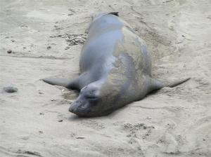 "Oh to live the life of an elephant seal... ""Elephant seal"" by Rene Rivers of Flickr Creative Commons"